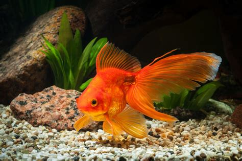 7 peces de agua fría   Mis Animales