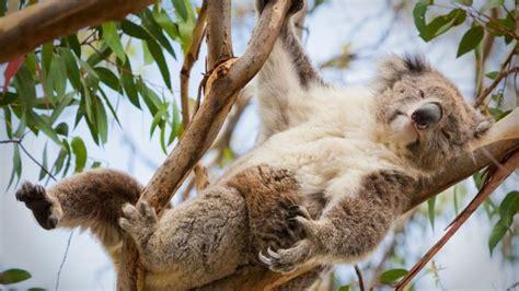 8 datos que probablemente no sabías de los koalas