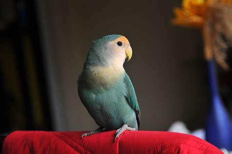 8 Top Small to Medium Pet Birds That Can Talk   Cissecocoa