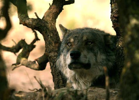 9 Animales en peligro de extinción en España