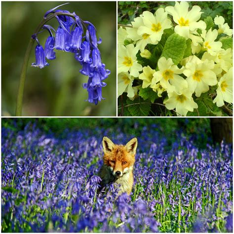 9 Fascinating Facts About Bluebells — England's Favorite ...