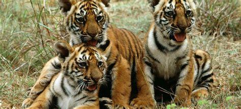 97% dos tigres selvagens desapareceram em 100 anos   ONU News