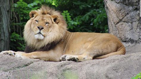 A beloved 10 year old lion has died after an epileptic ...