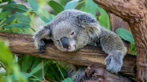 A fun fact you didn't know: Koalas don't drink water, but ...