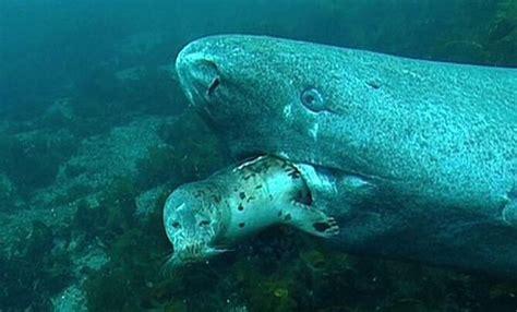 A Greenland shark preys upon an unfortunate seal ...