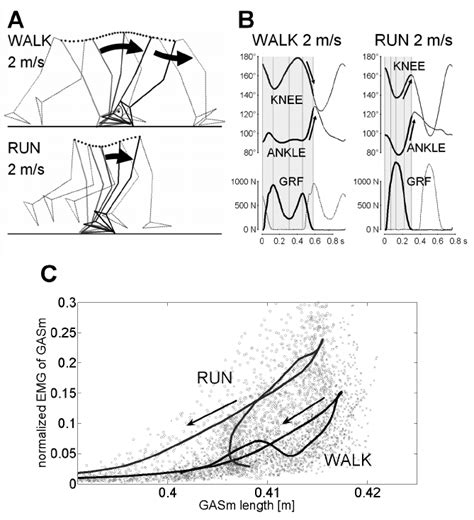 A  Leg kinematics in human walking and running at the ...