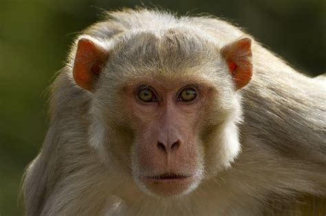 A monkey kidnapped and killed a newborn, family in India ...