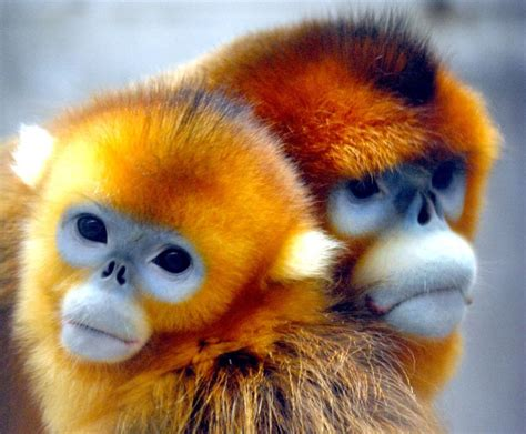 A Tiger in China: Stinky Tofu and Snub Nosed Monkeys