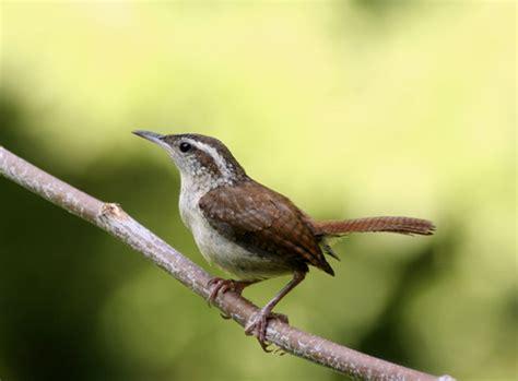 a to z the usa: South Carolina State Bird