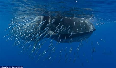 A very large sardine supper: Giant whale caught on camera ...