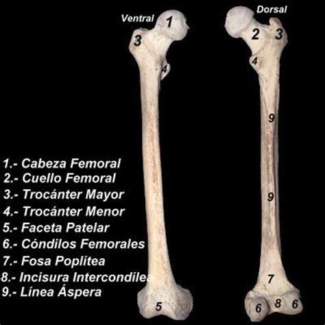 ABC UVM Anatomia II: FEMUR