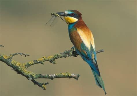Abejaruco europeo   SEO/BirdLife