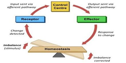 About Homeostasis   Assignment Point