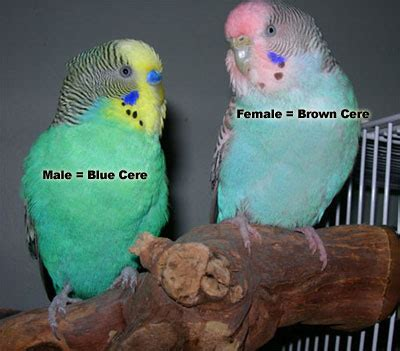 About Parakeets