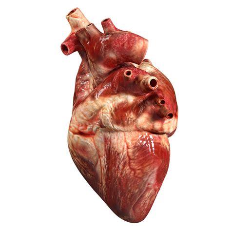 Accurate human heart 3D Model OBJ 3DS FBX BLEND DAE MTL ...
