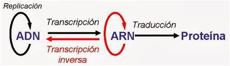 Ácido ribonucleico  ARN  | Apuntes de Biología Molecular