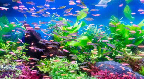 Aclimatar peces en un nuevo acuario   wikiAcuario