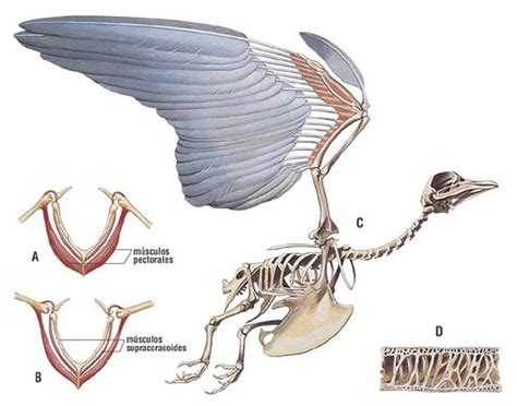 Adaptaciones de patas de aves   Picture of Typic Chile ...