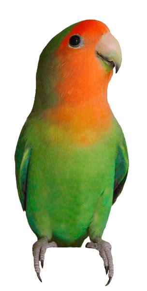 Agapornis roseicollis | Agapornis | Birds, Love birds y ...