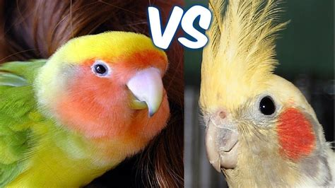 AGAPORNIS VS NINFAS   YouTube