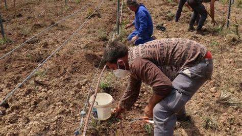 Agricultura amplía la viña de Sa Granja con 15 variedades ...