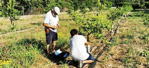 Agricultura injerta más variedades locales de cítricos en ...