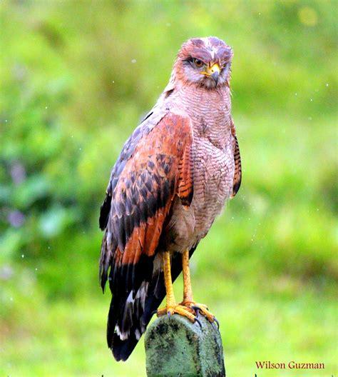 Águila: Águila del Casanare Colombiano | Aves rapaces ...