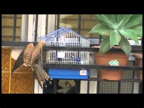 Aguila cazando pajaro en jaula sevilla   YouTube