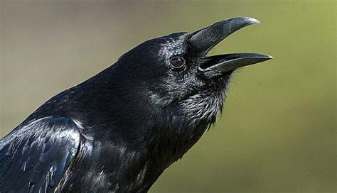 Al igual que el hombre: El cuervo es capaz de planear con ...