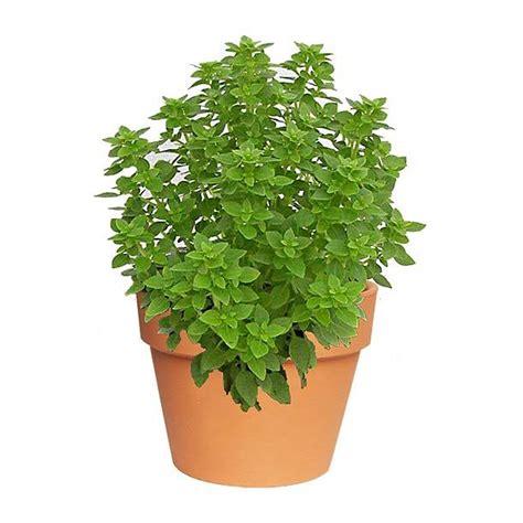 Albahaca. Plantas aromáticas. Planta de sol. Riego diario ...
