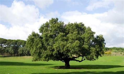 Alcornoque, descripción y cuidados   Hogarmania | Bosque ...