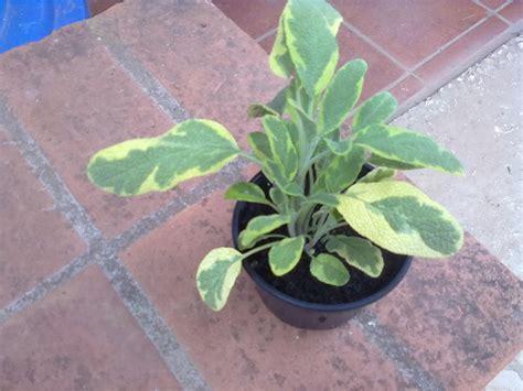Alfazemas: Mais plantas no jardim de aromáticas