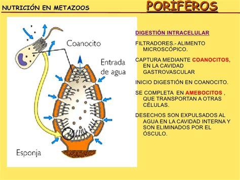 alimentacion de los poriferos o esponjas y como se reproducen