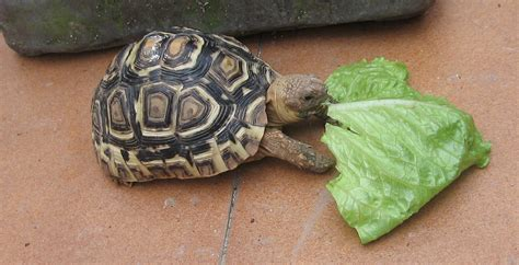 Alimentación de tortugas terrestres herbívoras | Cómo le ...