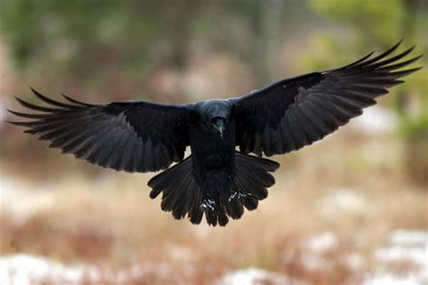 alimentacion del cuervo un ave de inteligencia superior