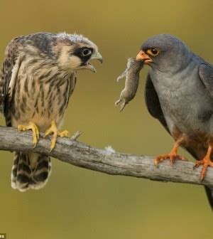 Alimentación práctica en aves rapaces de cetreria ...