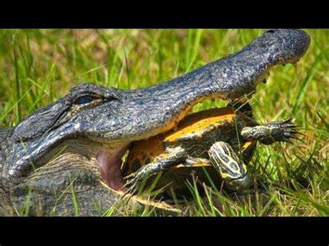 Alligator Eat I Live a Turtle   YouTube