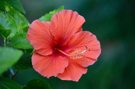 Aloha! How to Grow Hibiscus Flowers Outside of Hawaii