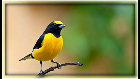 Amazing Natural Bird Sounds   YouTube