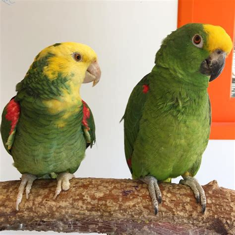 Amazon Parrots for Sale   Exotic Pet Birds Inc.