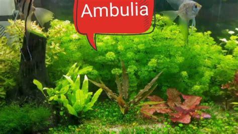 Ambulia. Guía de plantas para Acuarios #1   YouTube