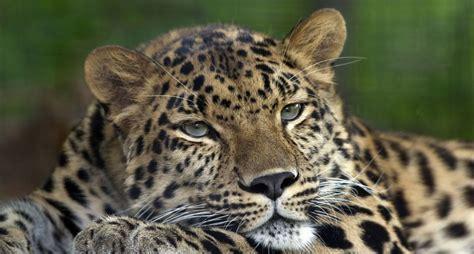 Amur Leopard Pittsburgh Zoo   Léopard de l Amour ...