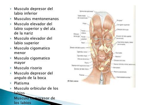 anatomia cra y cuello