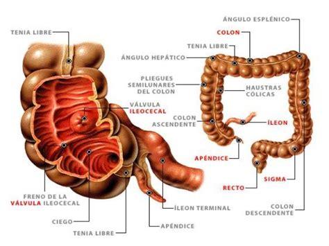Anatomía del intestino grueso   Sistema digestivo