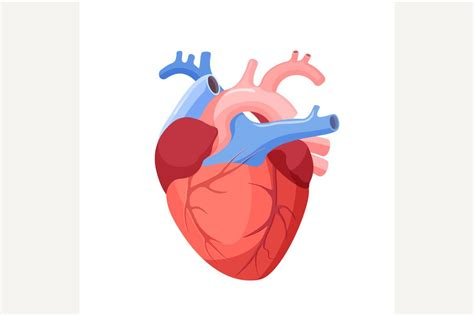 Anatomical Heart Isolated. ~ Illustrations ~ Creative Market