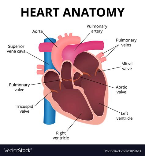 Anatomy of the human heart Royalty Free Vector Image