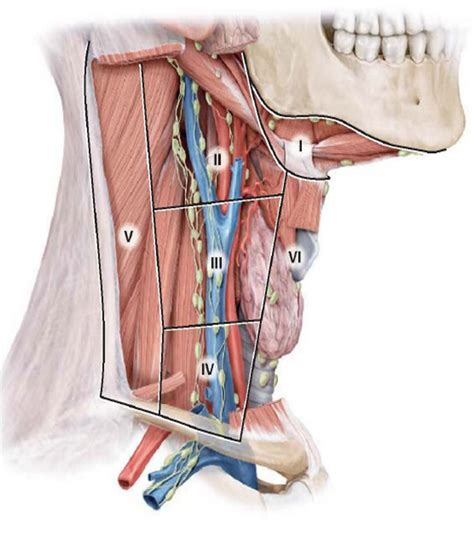 anatomy of the neck   Human Anatomy 421 with Rose at Union ...