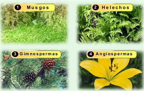 Angiospermas vs. Gimnospermas: Cuadros comparativos ...