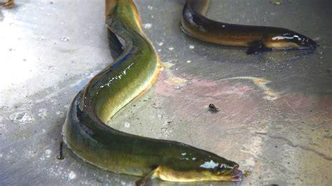 ANGUILLA. Pesca, le varie tecniche in giro per il mondo ...