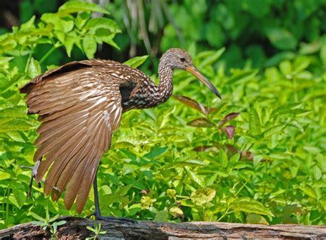Anidación y reproducción de aves costeras   La Verdad Noticias